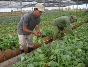 Cultivo de vegetales y hortalizas en condiciones de semitapado, en la Unidad Económica de Base Batey Colorado, de la Empresa de Semillas y Granos Valle del Caonao, en Sancti Spíritus. Foto AIN