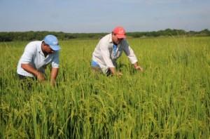 En La Sierpe se concentra la mayor parte de la producción del cereal.