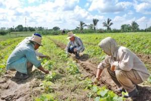 Cerca de 6 700 espirituanas están vinculadas  a las diferentes formas de producción, en Cooperativas de Créditos y Servicios y de Producción Agropecuaria.