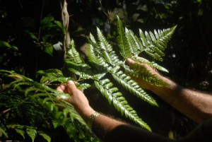 En Cuba se reportaba la presencia de la Maxonia apiifolia exclusivamente en la zona de Santo Tomás, en la Ciénaga de Zapata.