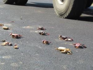 Miles de cangrejos rojos mueren cuando intentan cruzar la vía que une a Cienfuegos con Trinidad.