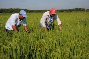 La cooperativa Hirán Rojas superó los 200 000 quintales de arroz el año precedente.