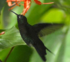 Esta avecilla, que mide apenas siete centímetros, constituye el pájaro más pequeño del mundo.
