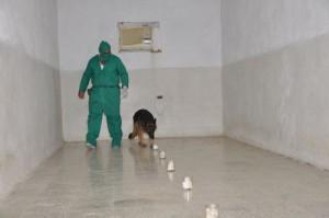 Con el empleo de la técnica canina se comparan las huellas encontradas en el lugar del hecho con las impresiones olorosas de los sospechosos.