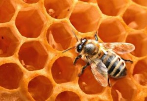 El Viprol se elabora a base de propóleos recolectados de las abejas.