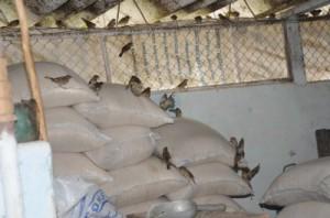 Los gorriones hacen de las suyas en los sacos de arroz almacenados en la plaza-tienda.