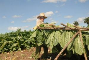 Los resultados en la producción tabacalera son favorables.
