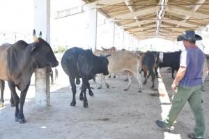 Pese a la extrema escasez de agua en Taguasco han logrado incrementar la masa ganadera mediante la garantía de alimento para las reses.