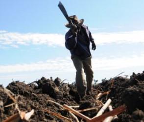 Lo plantado de enero a junio representa unas 800 hectáreas más que en igual etapa del 2013.