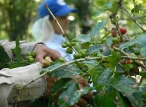 En la serranía hay carencia de brazos para atender el cultivo.