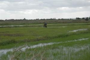 La Empresa Agroindustrial de Granos Sur del Jíbaro superó en unas 3 000 hectáreas el plan de siembra del cereal previsto para el presente año.
