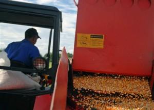 Territorios como Yaguajay se distinguen en la producción del grano.