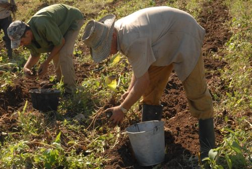El sector cooperativo y campesino aporta la mayor parte de los renglones agropecuarios.