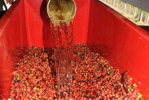 cafe, cosecha cafetalera, pitajones, trinidad, sancti spiritus