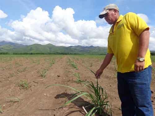La caña de azúcar no podía estar ausente en la recuperación del paisaje del Valle.