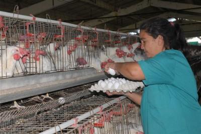sancti spiritus, produccion de huevos, avicultura
