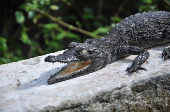 cocodrilo encontrado en la vivienda