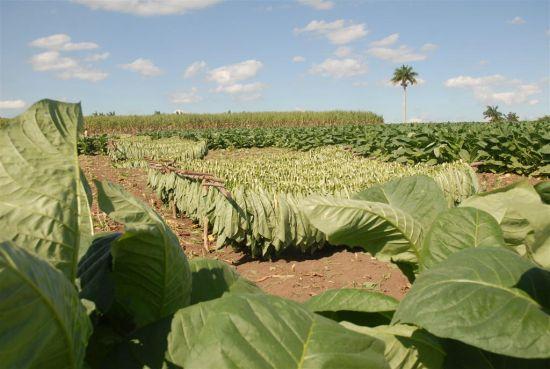 tabaco, sancti spiritus, cosecha de tabaco