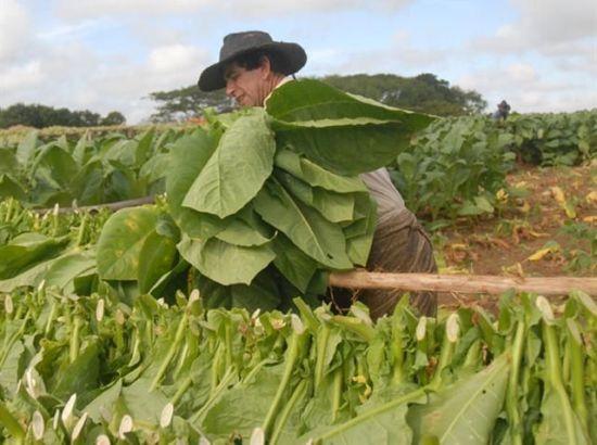 cosecha tabacalera, tabaco, sancti spiritus