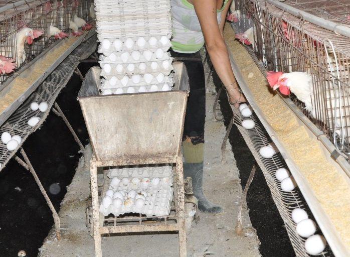 sancti spiritus, comercio, empresa avicola, huevos, distribucion de huevos