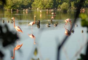 Su cuidado forma parte de un programa nacional de protección de aves acuáticas en las costas de Cuba.