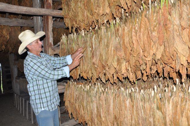 sancti spiritus, tabaco, cosecha de tabaco, cabaiguan
