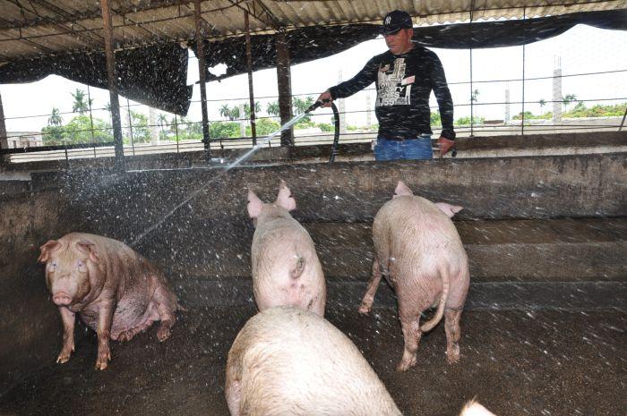 sancti spiritus, cabaiguan, produccion de alimentos, tabaco, carne porcina, granos