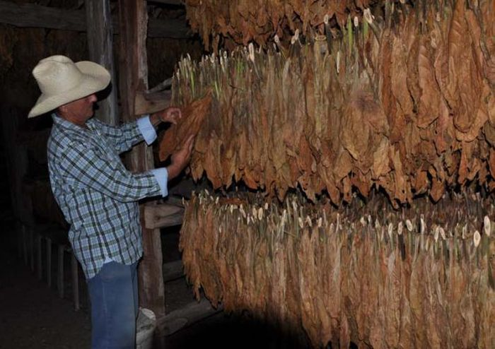 sancti spiritus, tabaco, tabaco tapado, siembra de tabaco, cabaiguan