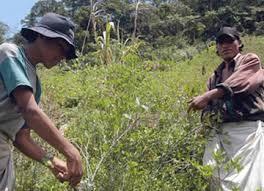 Bolivia cumple con la estrategia para la reducción de los cultivos de coca.