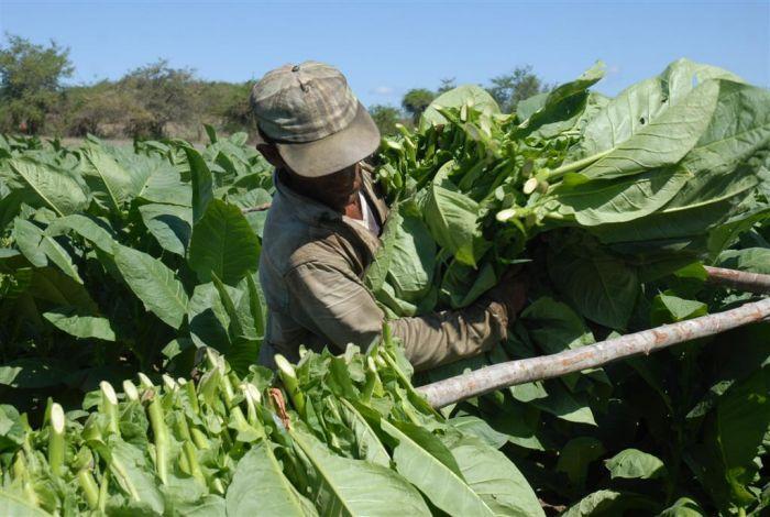 sancti spiritus, tabaco, siembra de tabaco, acopio de tabaco, semilleros de tabaco