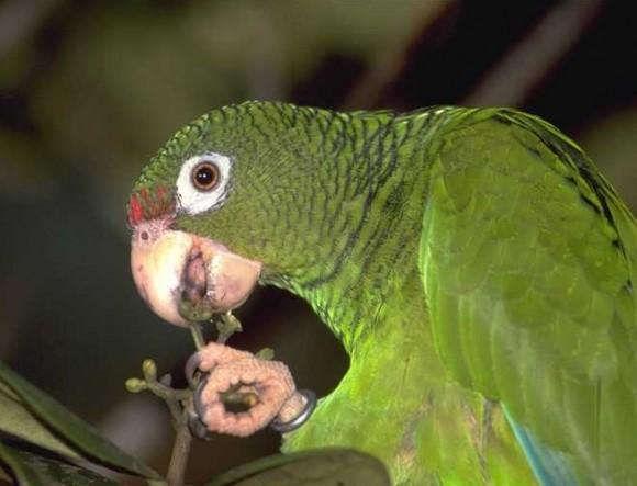 La cotorra cubana está protegida por la ley, por lo que la venta de este espécimen está prohibida y es sancionada.