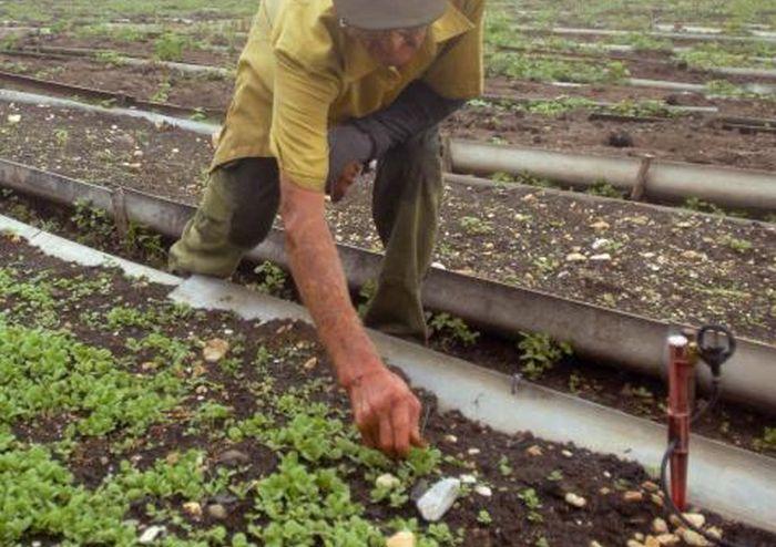 La creación de los semilleros de tabaco, en canteros y tecnificados se extiende hasta noviembre. (Foto Oscar Alfonso)