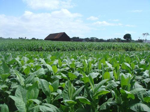 Sancti Spíritus se mantiene entre las punteras en la producción de la hoja en Cuba.
