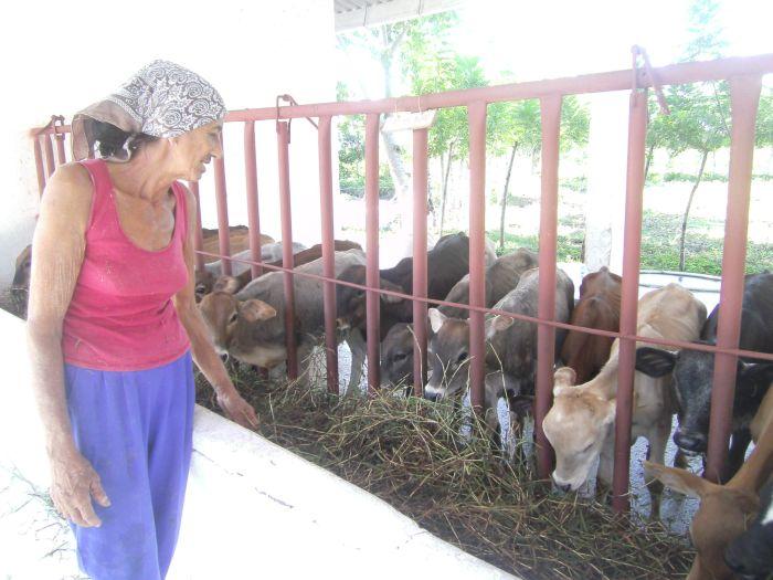 Como a sus propios hijos cuida Bertha a los terneros. (Foto Xiomara)