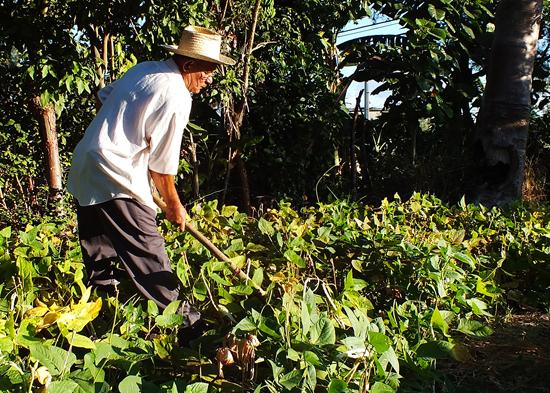Los fenómenos climatológicos impactan en la producción de alimentos en Cuba. (Foto: Juventud Rebelde)