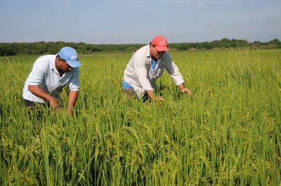 La estrategia busca disminuir las impurezas en el cultivo del arroz y elevar los rendimientos.