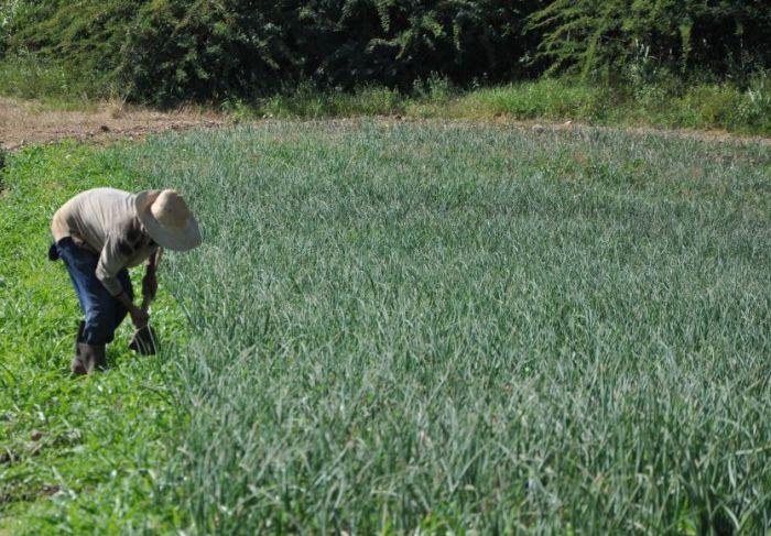 sancti spiritus, agricultura, cooperativas, campesinos, unidad basica de produccion cooperativa