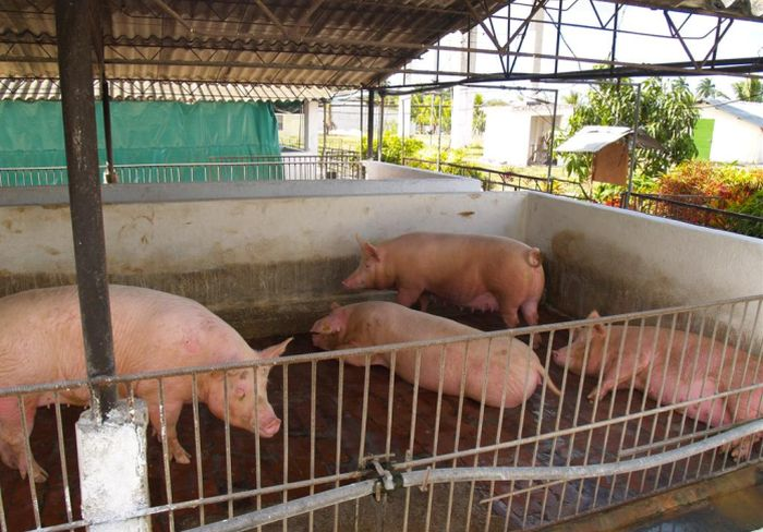 sancti spiritus, carne de cerdo, porcino, empresa porcina