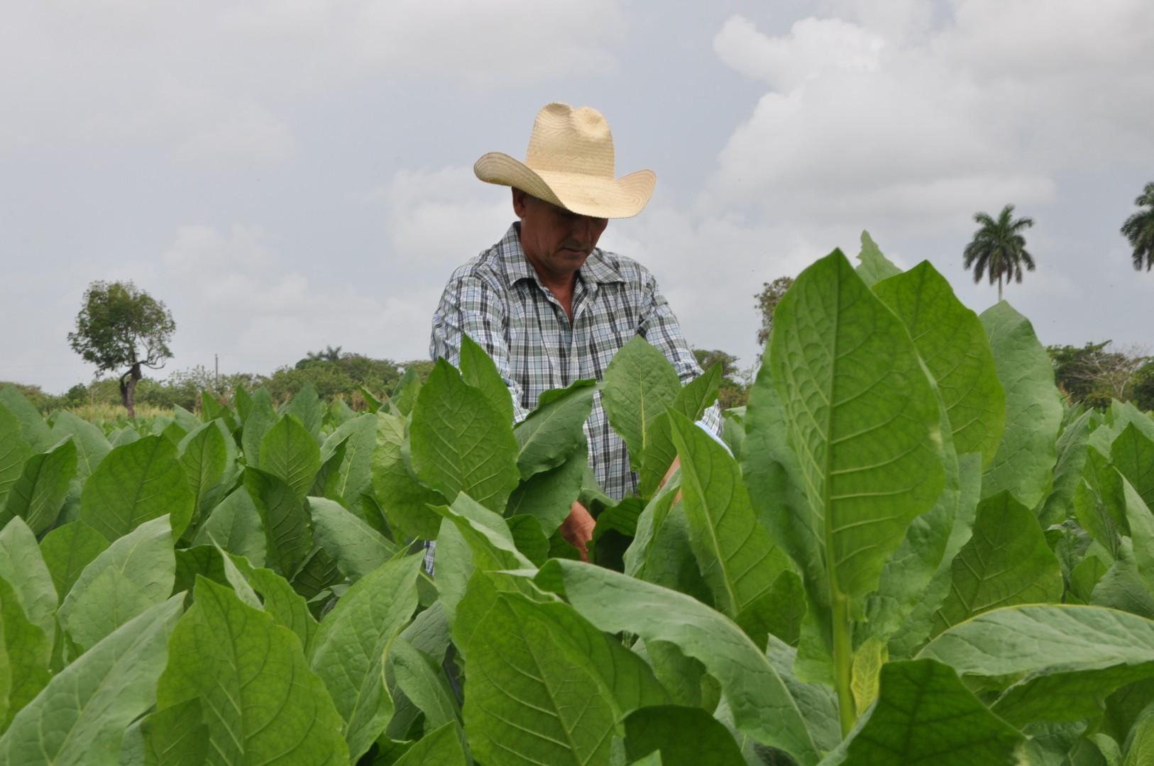 El tabaco es de los cultivos que más aseguran los productores. (Foto: Vicente Brito/ Escambray)