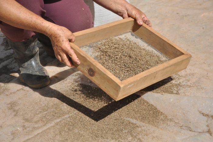 En las 14 provincias se reproduce la semilla de zanahoria lograda en Yaguajay por primera vez en Cuba.