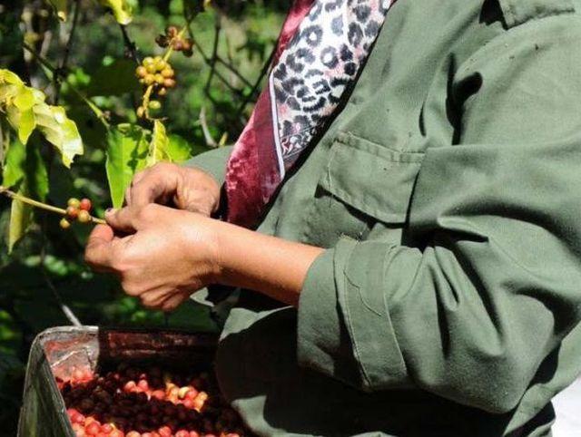 cafe, sancti spiritus, fomento , cosecha cafetalera, trinidad