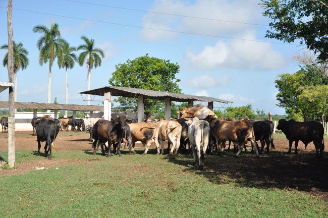 Durante el 2016, los arroceros de La Sierpe pretenden consolidar su programa de desarrollo ganadero. (Foto Vicente Brito/Escambray)