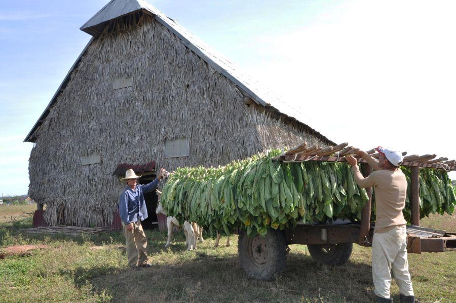 Sancti Spíirtus es la segunda provincia de mayor resposabilidad en la producción tabacalera cubana. (Foto Vicente Brito/Escambray)