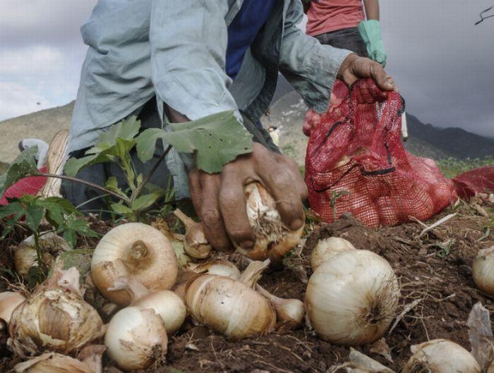 sancti spiritus, banao, cultivos vatios, cebolla