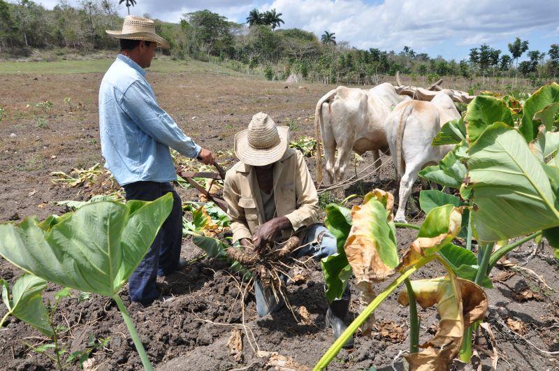 sancti spiritus, yaguajay, produccion de alimentos