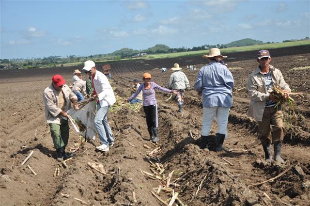 Esta vez las mejores condiciones del terreno facilitaron la siembra y el mayor rendimiento de los movilizados. (Foto: Vicente Brito/ Escambray)