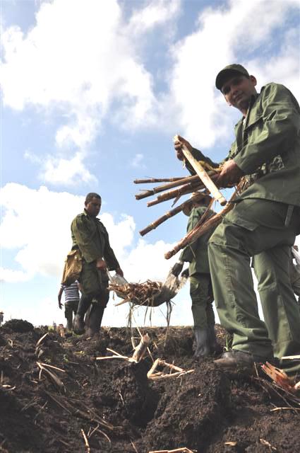 La movilización de este domingo aseguró la siembra de más de 90 hectáreas de caña. (Foto: Vicente Brito m/ Escambray)