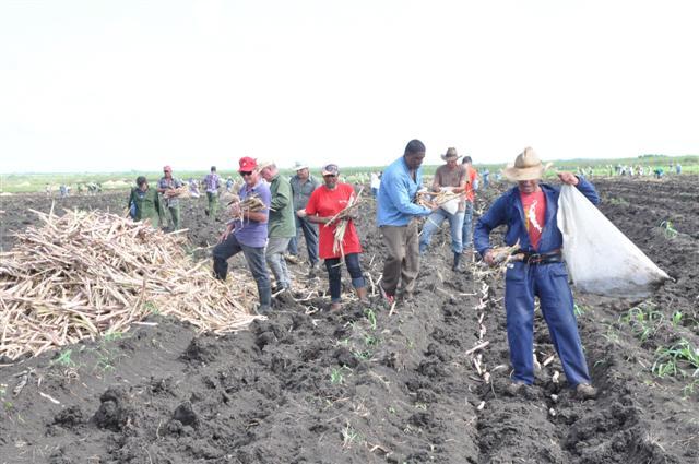 La movilización de este domingo aseguró la siembra de más de 90 hectáreas de caña. (Foto: Vicente Brito / Escambray)