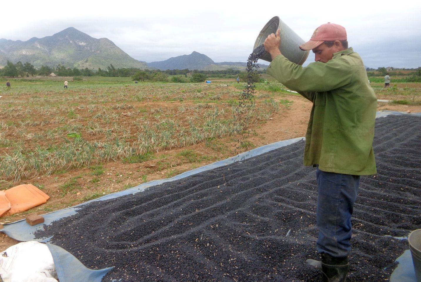 sancti spiritus en 26, produccion alimentos, sustitucion importaciones, cosecha de frijol