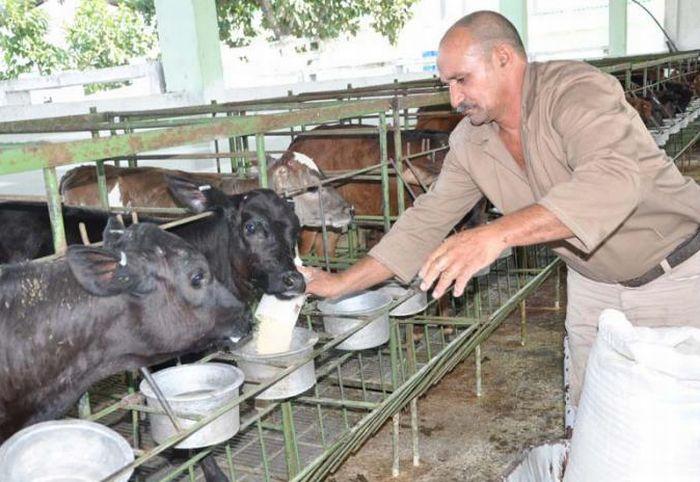 La unidad Genética Dos Ríos, ejemplo de recuperación de la ganadería en el territorio. (Foto: Vicente Brito/ Escambray)